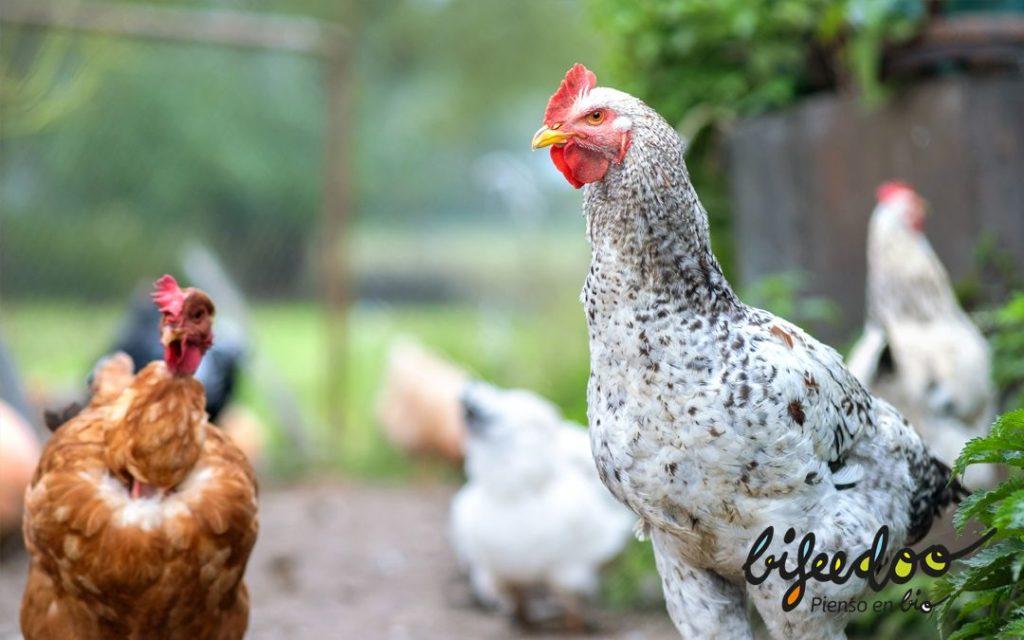 Foto de Pienso ecológico gallinas